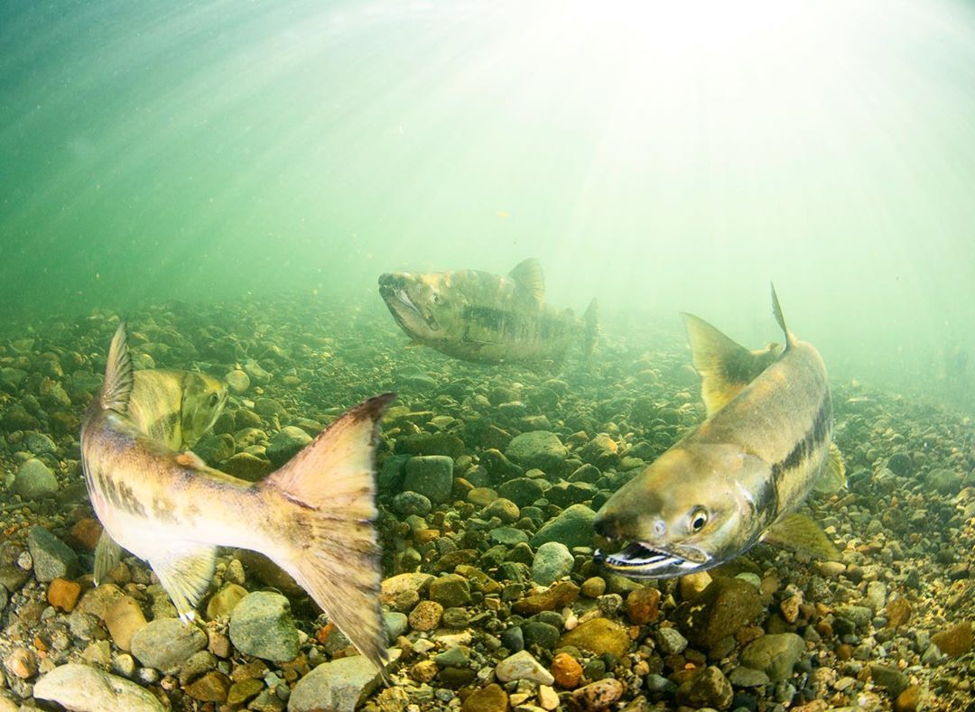 Three chinook salmon swimming in green water with a rocky bottom. Light is filtering in from above the water.