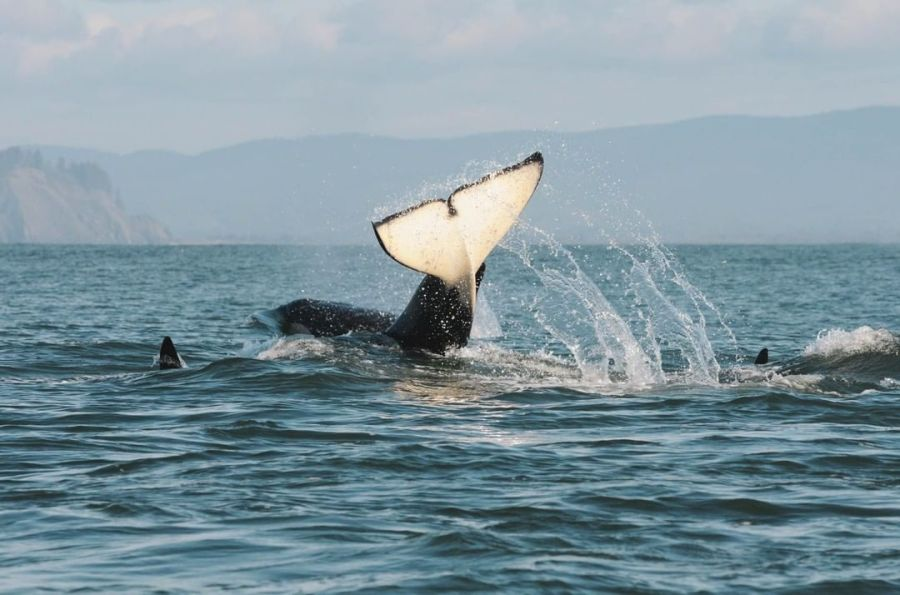 A whale tail emerges from the water where there are the dorsal fins of two other whales visible.