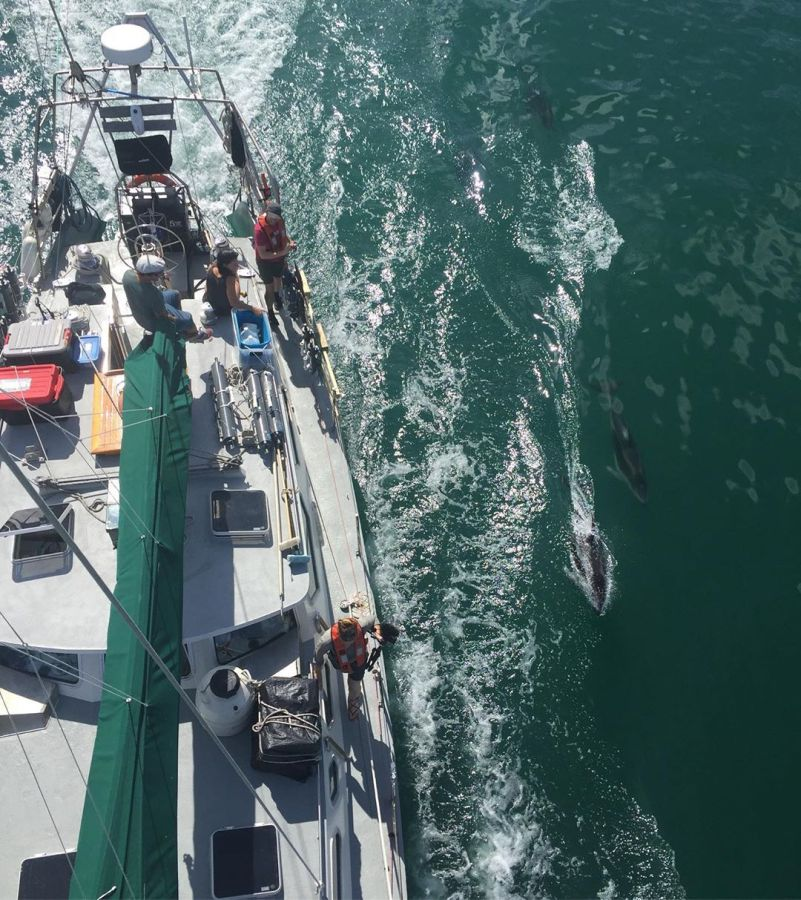 Aerial view of Raincoast vessel Achiever, white deck of boat with green sail visible, while dolphin bodies jump and swim alongside in the green churning ocean waters