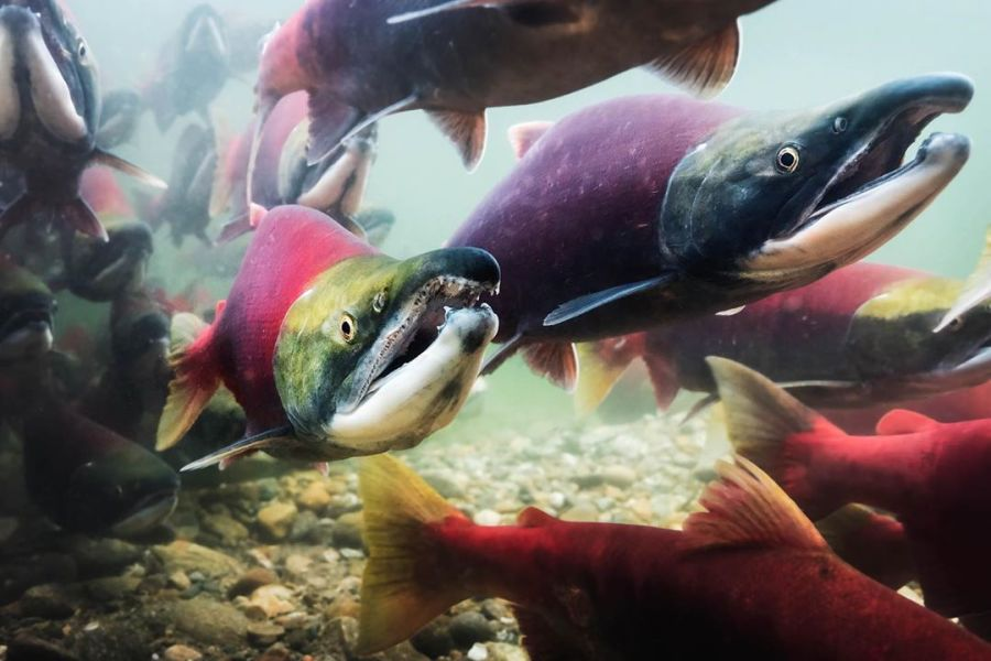 Three salmon in the foreground and many more in the background are seen with pink bodies, green heads and gaping mouth swimming underwater