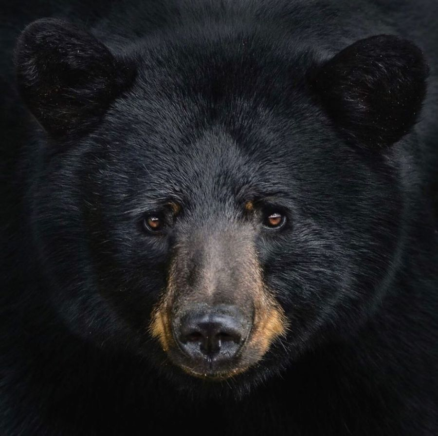 black bear faces camera in close up