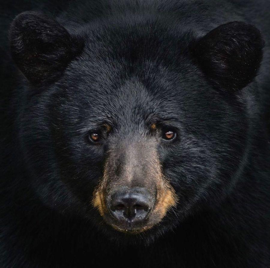 black bear faces camera in close up