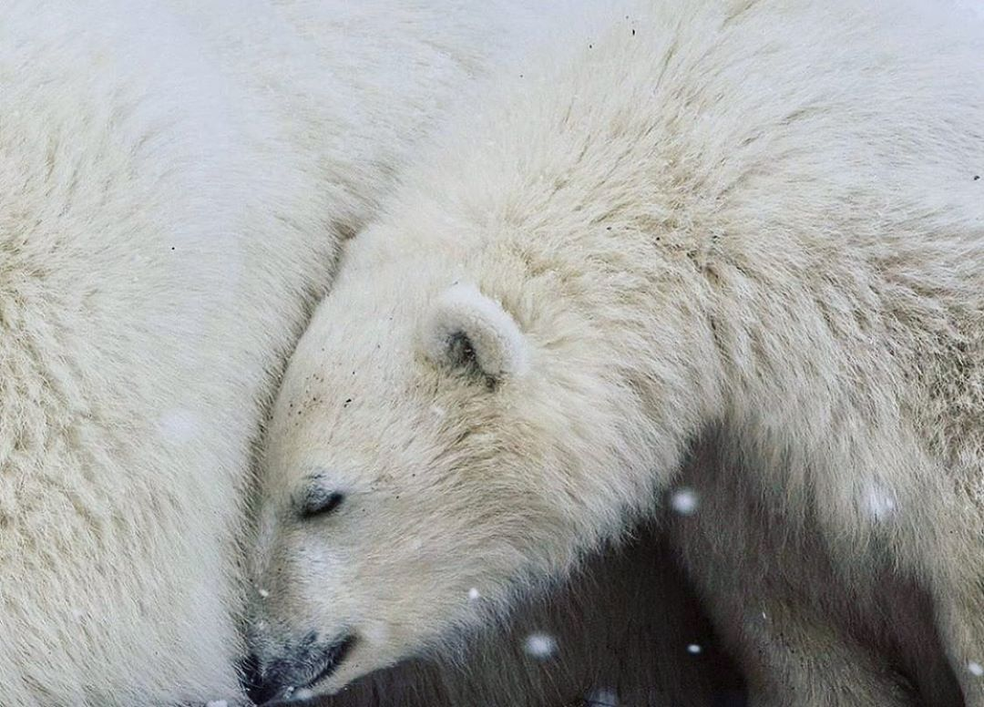 White polar bear curls up on itself with a few snowflakes drifting down in the foreground
