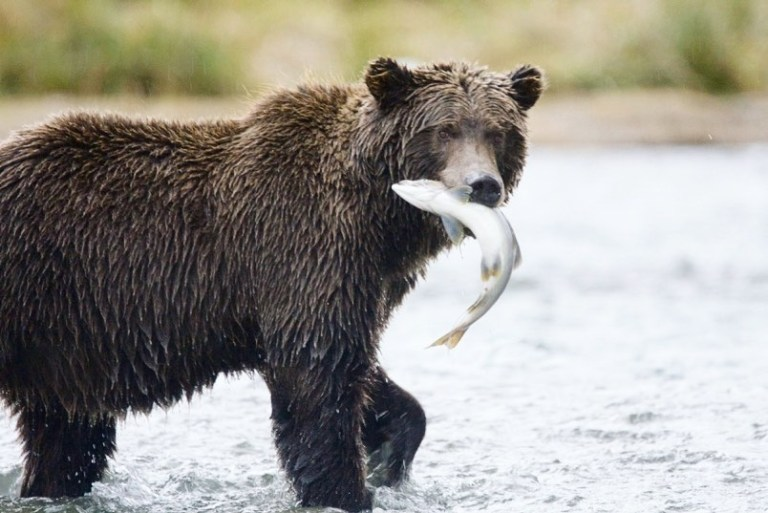 Malnourished grizzly bears likely not related to climate change, says op-ed by Raincoast