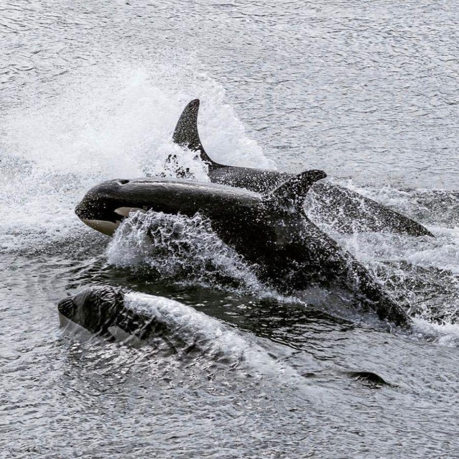 black and white photograph of three orca whales breaching