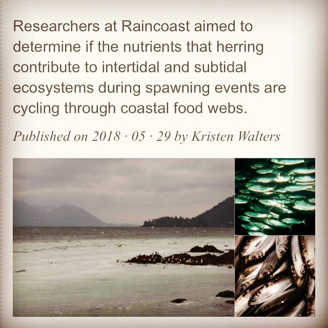 Caption stating Researchers at Raincoast aimed to determine if the nutrients that herring contribute to intertidal and subtidal ecosystems during spawning events are cycling through coastal food webs. Triptych of photographs below showing herring in two pictures and ocean at low tide in the other