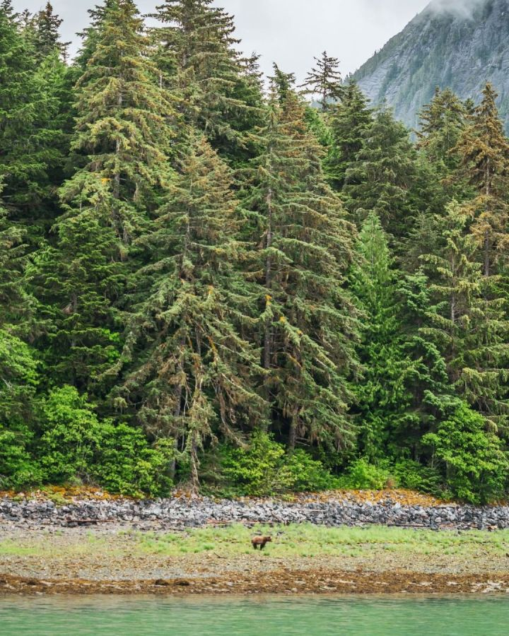 Magnificent conifer trees in the Great Bear Rainforest and at the edge of the treeline, a lone brown grizzly bear is visible in the distance