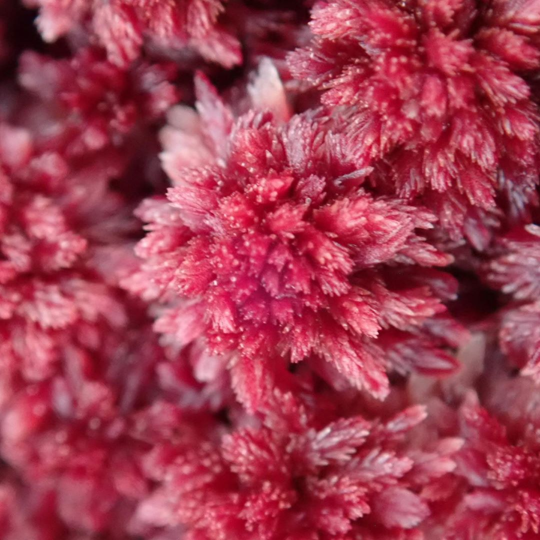 extreme closeup of a frosted over pink flower