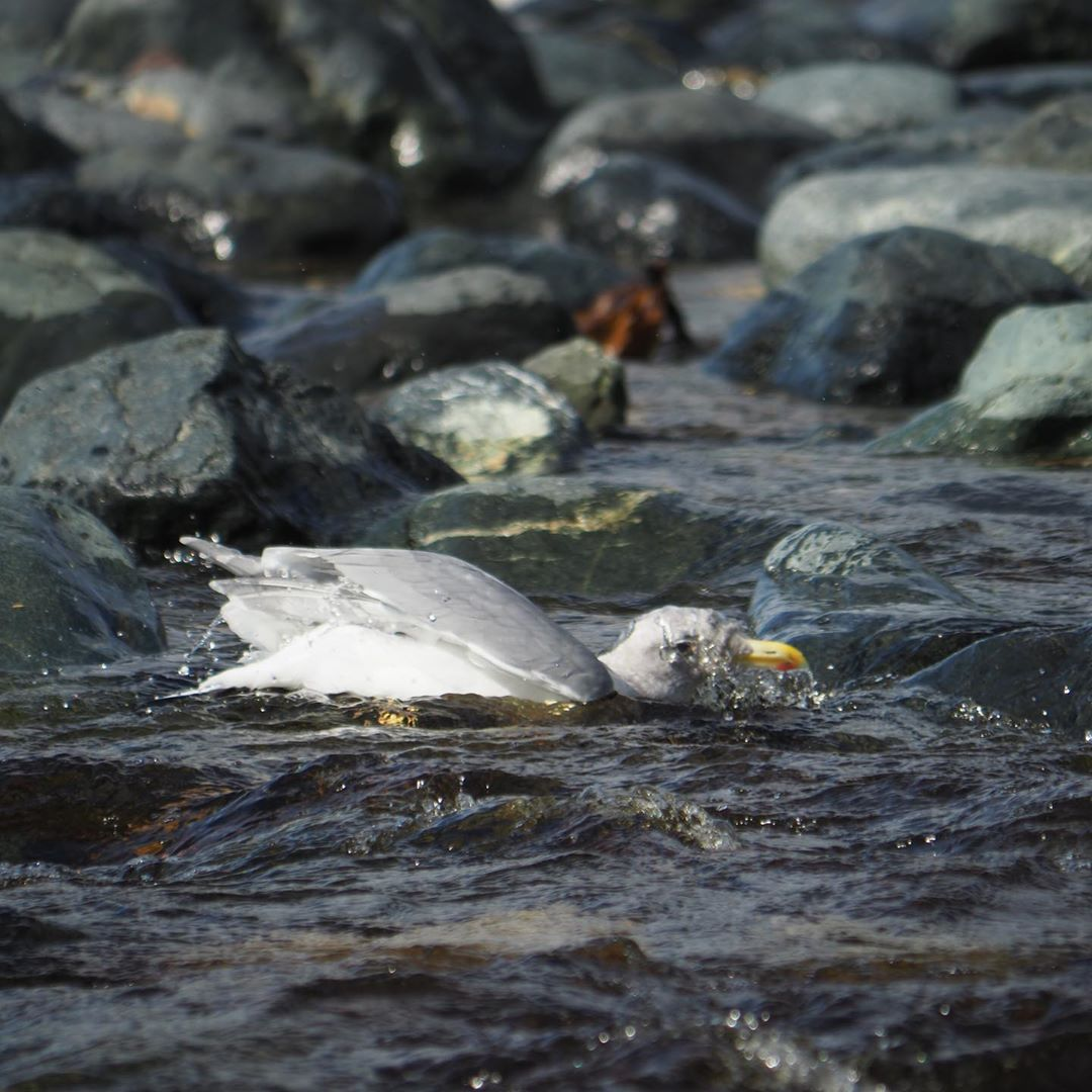 seagull flopping about in water with smooths rocks around it