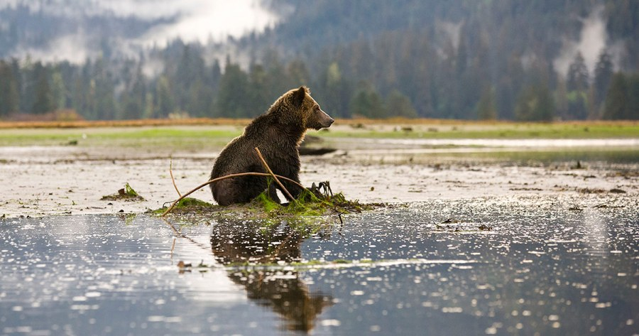 Brown grizzly sits in shallow water while mist and mountains rise behind it.