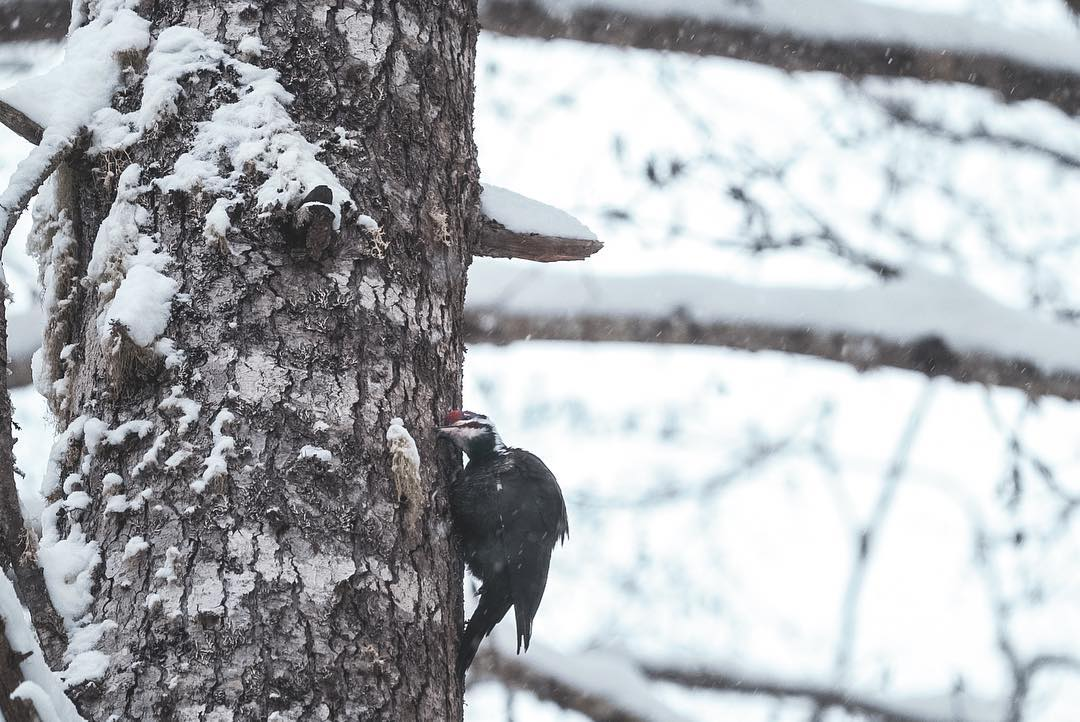 Pileated woodpecker with its ear pressed to the brown tree trunk with patches of snow in it, with a snow covered branch in the background and a blurry white backdrop