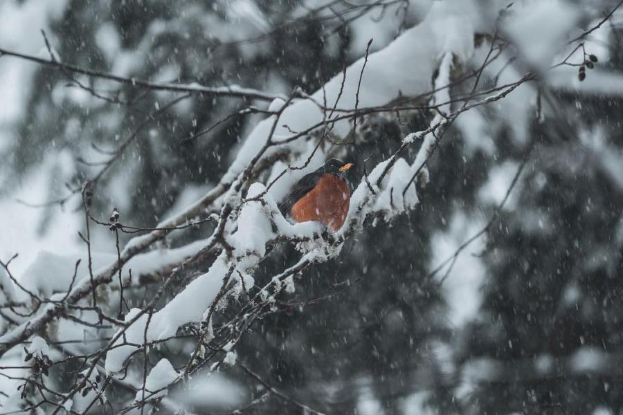 Robin tucked in amidst snow covered branches