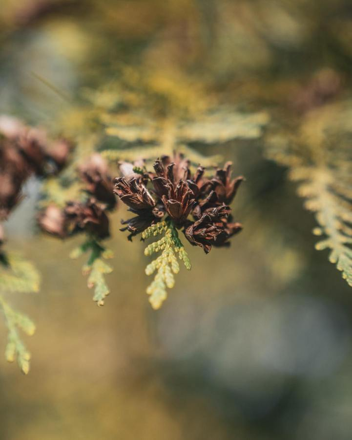A bunch of cedar cones hanging of a branch with a few leaves