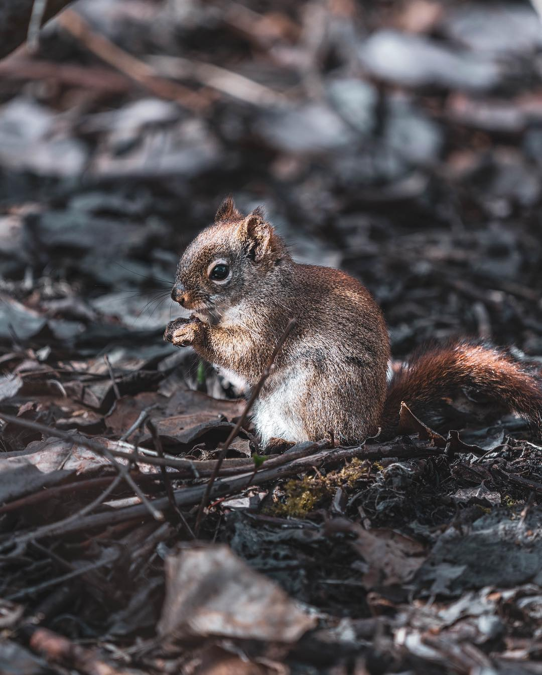 Small red brown squirrel sitting amidst debris