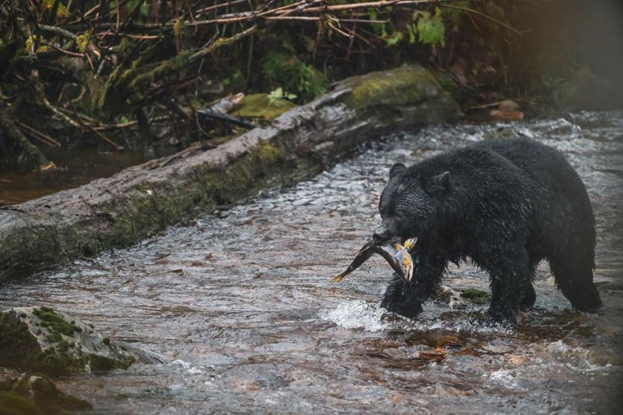 Black bear walking in water, framed by fallen logs, with fish in its mouth