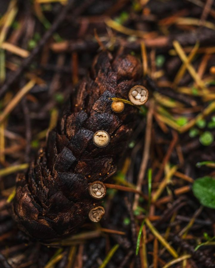 Brown fir cone lying on sticks and mud with mushroom called birds nest fungi sticking to the fir cone, in small round cups