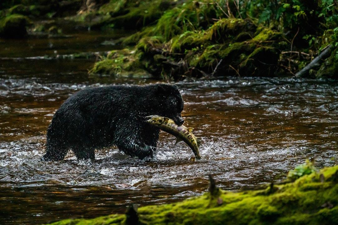 black bear with fish in its mouth standing in water