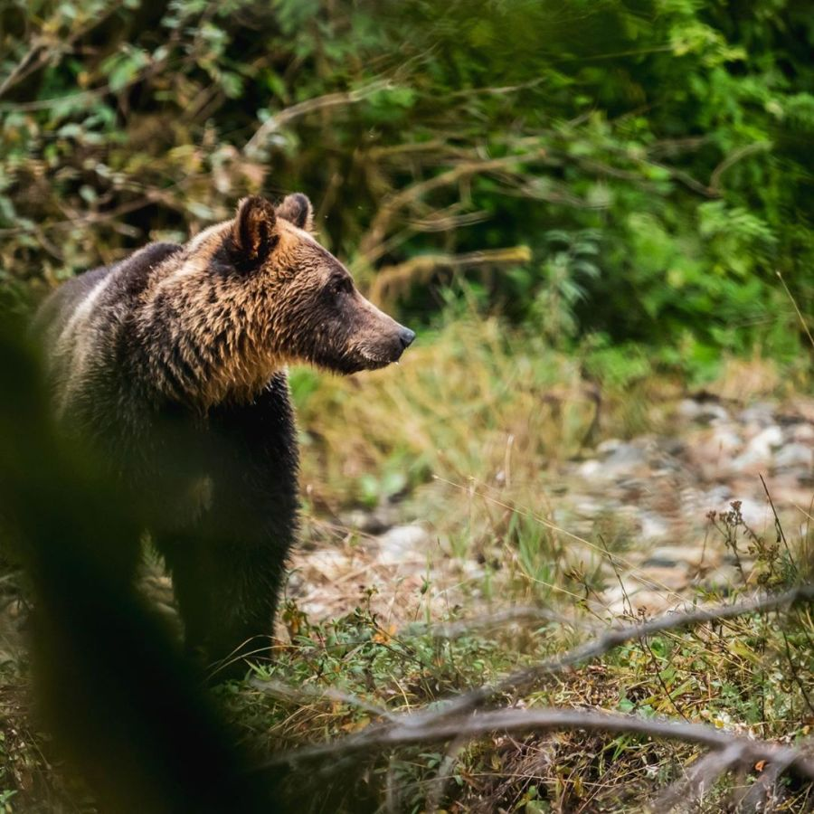Grizzly bear looks to the right from one corner of the frame in the Great Bear rainforest