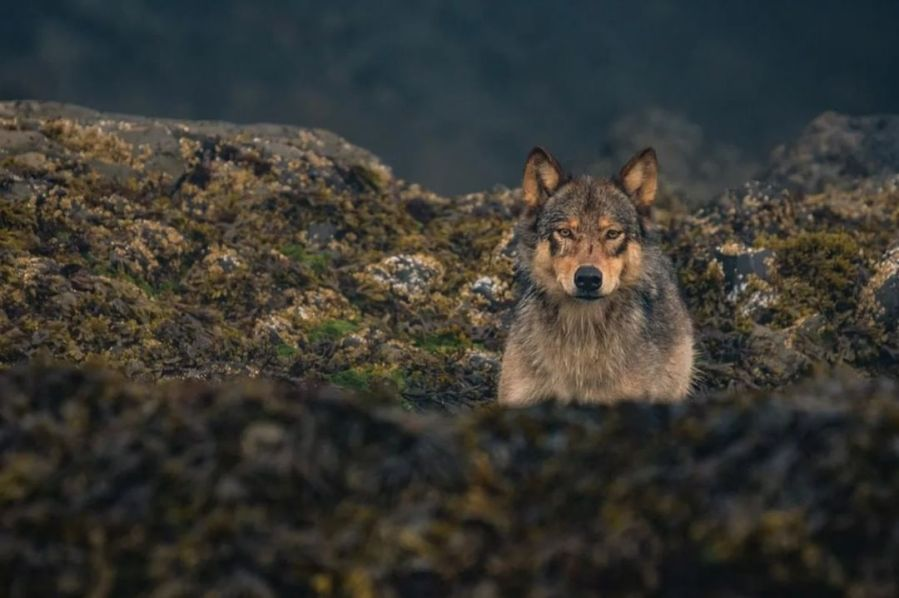 A wolf in shades of brown stands among rocks, it's lower body hidden by the rocky outcrop. It stares straight into the camera.