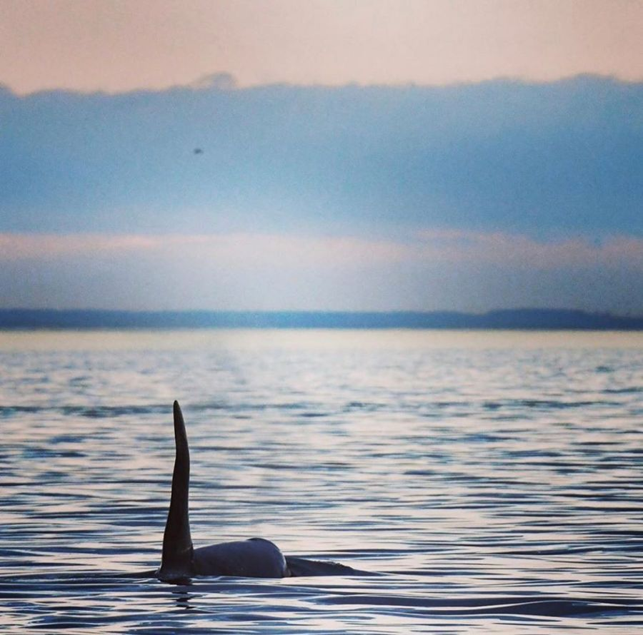Tail and back of a single orca whale visible above sunset waters in blue and silver