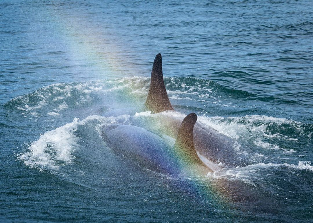 Two orca whale bodies and their fins visible as they are more than half out of the blue ocean water, with some froth near their heads and a beautiful prism of rainbow colours arcing across the foreground