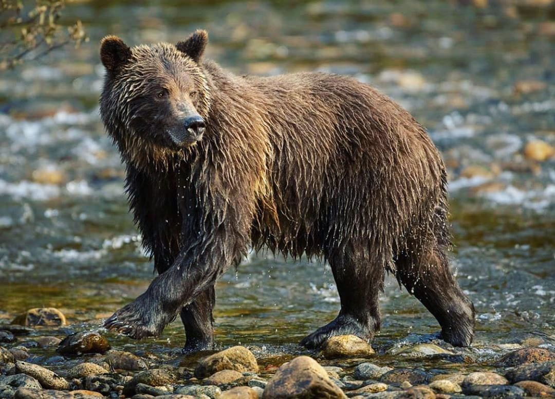 Wet brown grizzly bear walks on rocks in shallow water