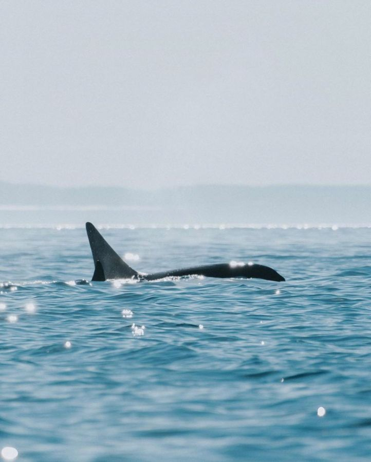 Back, tail fin and head of an orca whale visible as black on blue in the ocean under pale blue sunny skies