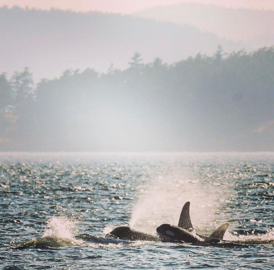 Three orcas partically visible raising a great deal of froth in blue ocean with a misty forest and mountain background