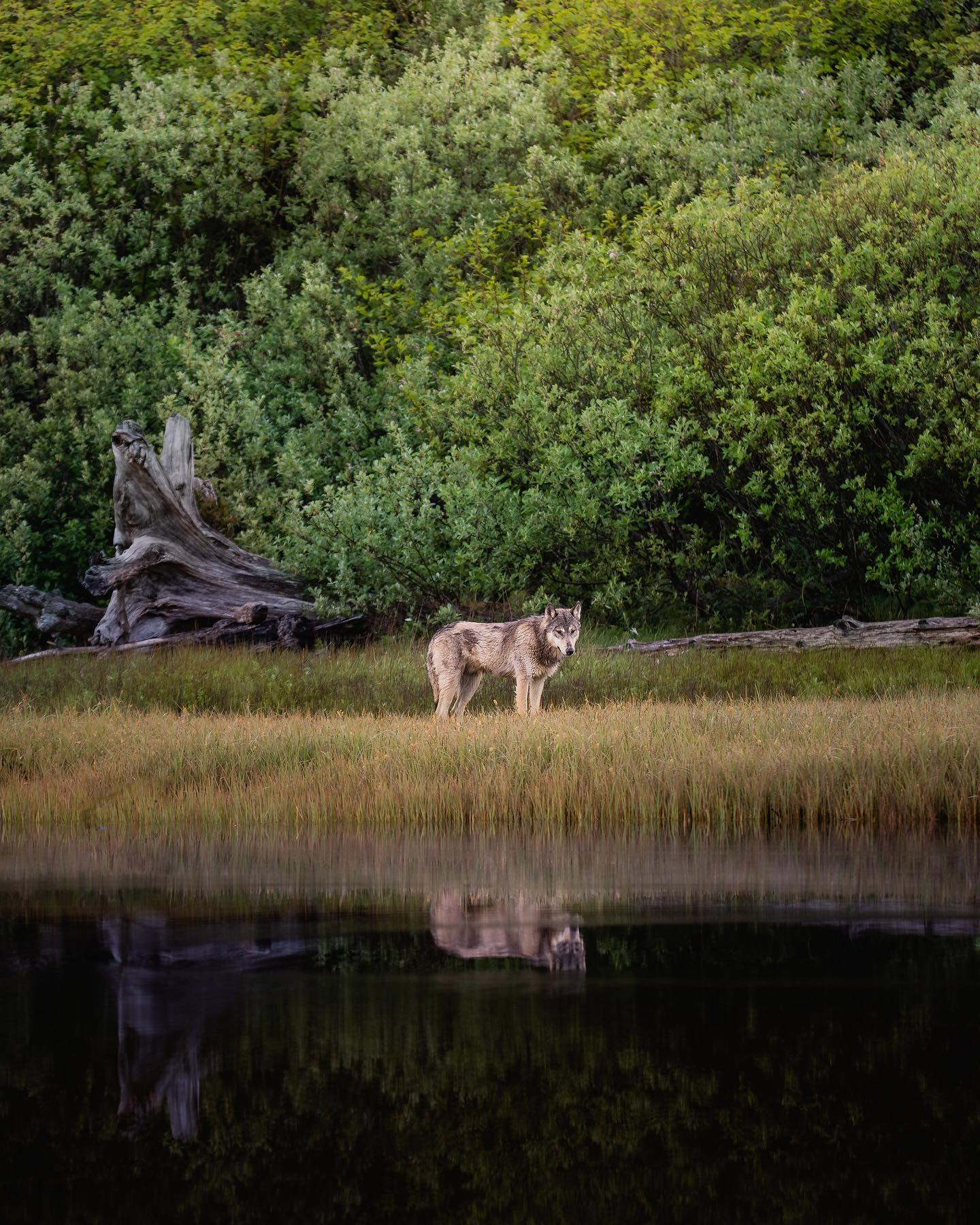 Lone wolf standing still beside water, reflected in it, with forest behind it.
