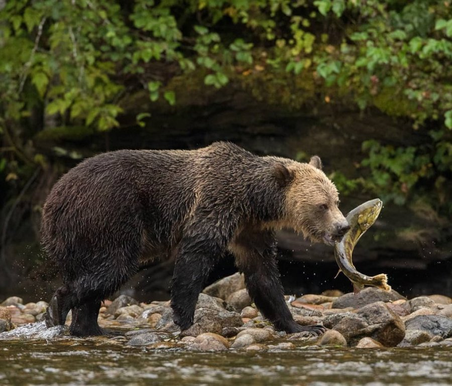 Grizzly bear walks on shallow water and rocks with salmon caught in its mouth, backgrounded by green trees.
