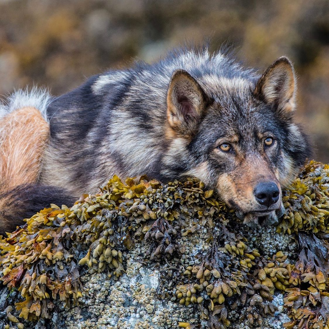 A beautiful grey, brown and red wolf is lying down with its chin on a rock starting soulfully out at the camera.
