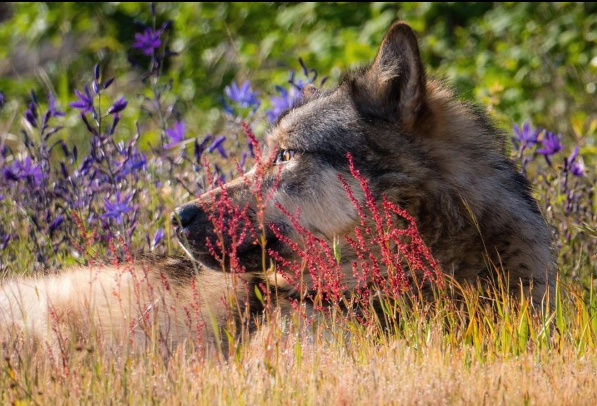 A beautiful wolf face in extreme close-up pictured among red and purple flowers and yellow grass with green leaves in the blurred background. Brown face of the wolf is in profile and its eyes gaze with emotion out into the distance.
