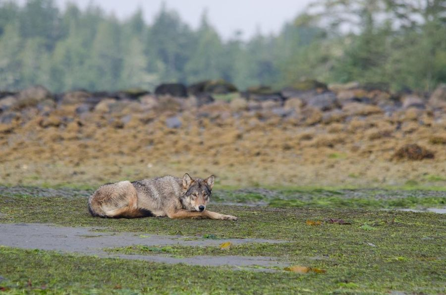 A brown wolf rests with its head on its front paws, on green and brown wetland.