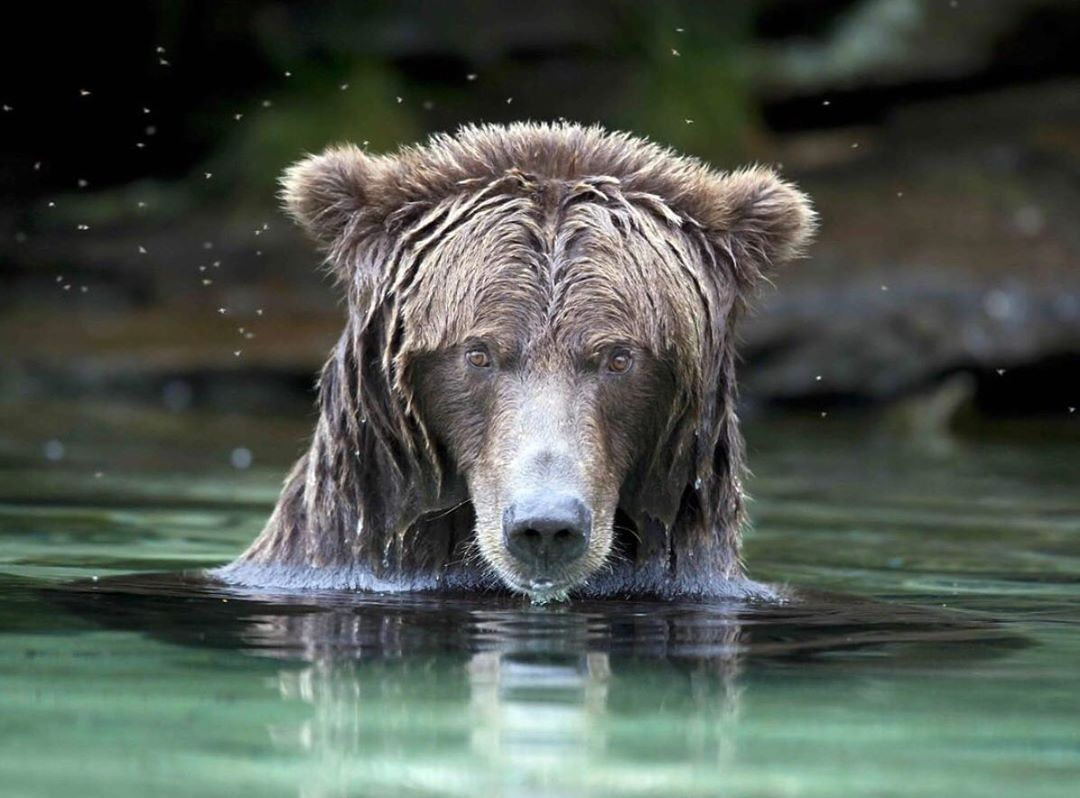 A beautiful wet grizzly bear looks out at the camera face above green water