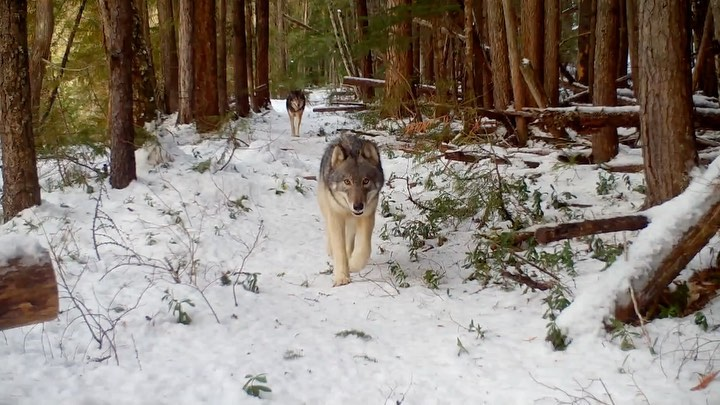A medium sized brown and grey wolf walks on the snow between rows of trees