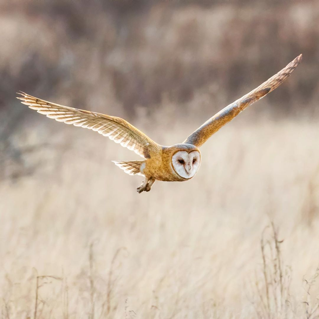 A pale brown barn owl wings spread wide in flight low above the ground, wheat coloured grass stalks waving below.