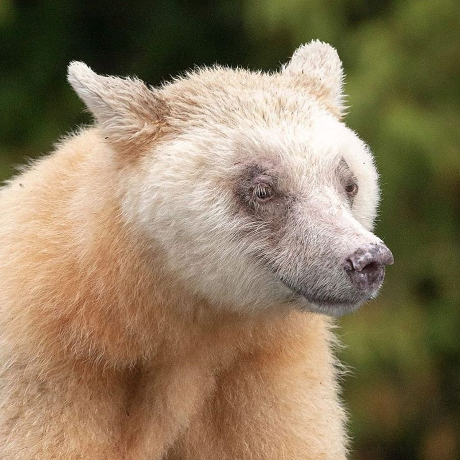 Close up of Spirit bear's face, white fur and brown eyes.
