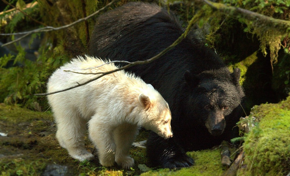 Doug Neasloss talks about new research on Spirit bears on CBC As It Happens