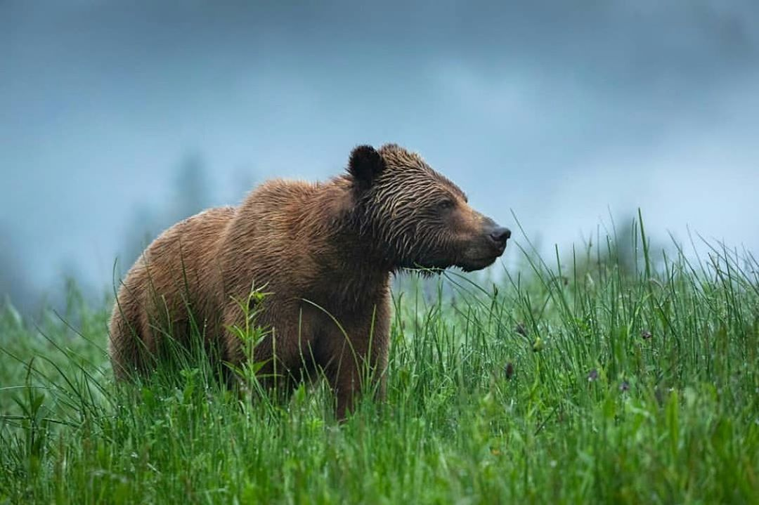 Beautiful brown bear stands among sharp green grass in front of a blurred blue sky looking outward