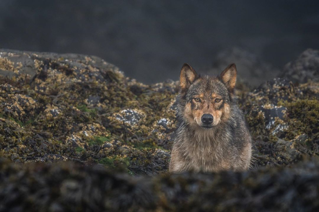 A brown wolf stares out from some rocks
