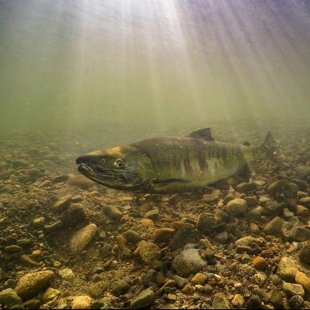 A big salmon is seen hovering over a rocky bed under water with sun rays shining down on it and the murky pale green water in the Fraser river estuary