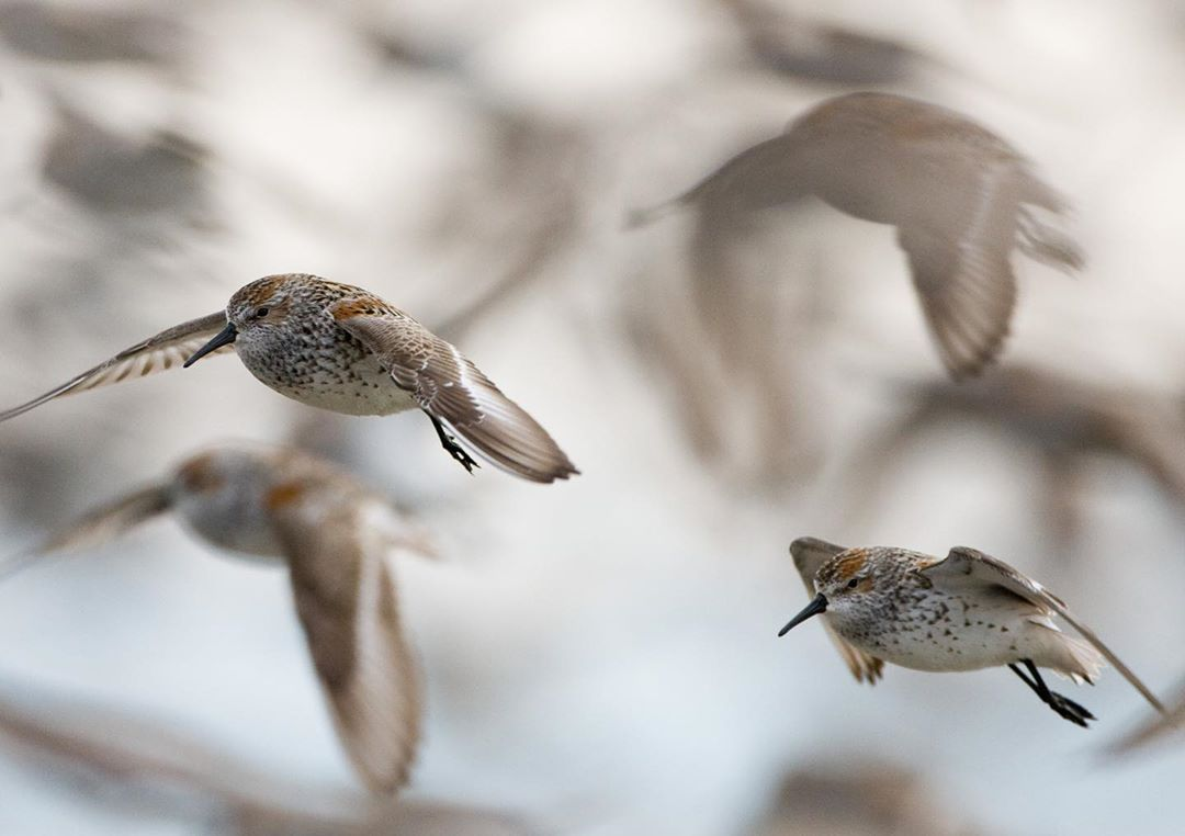 A close up of Western Sandpipers in mid flight