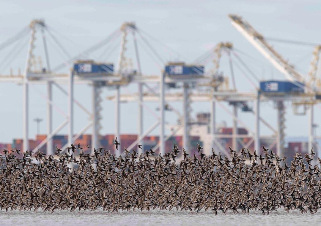 Vancouver Port visible in the background as blurred rigs and structures while in the foreground a mass of red brown birds take flight low from the ground