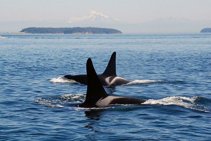 Tail fins and white patch on black back of two orcas visible in the Salish Sea beside Saturna Island.