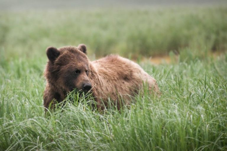 Ongoing ACS Lab research on human activity impact on grizzly bear behaviour