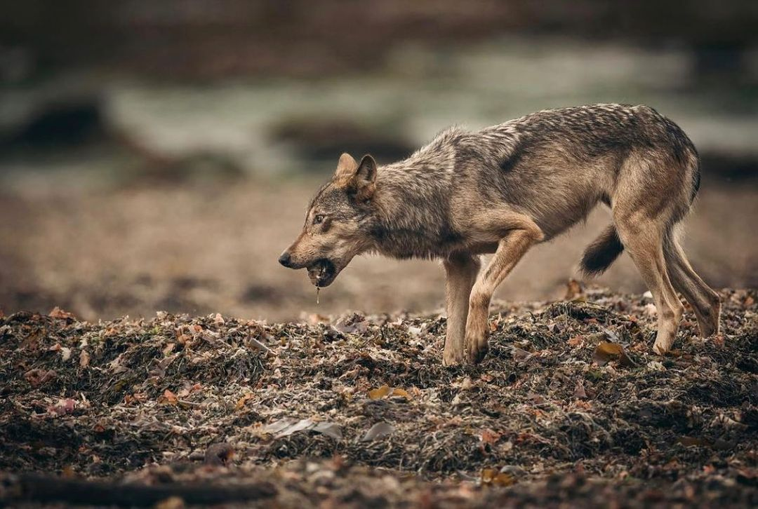 A medium sized brown wolf is seen mid motion with its one front leg and one hind leg off the ground traversing rocky terrain