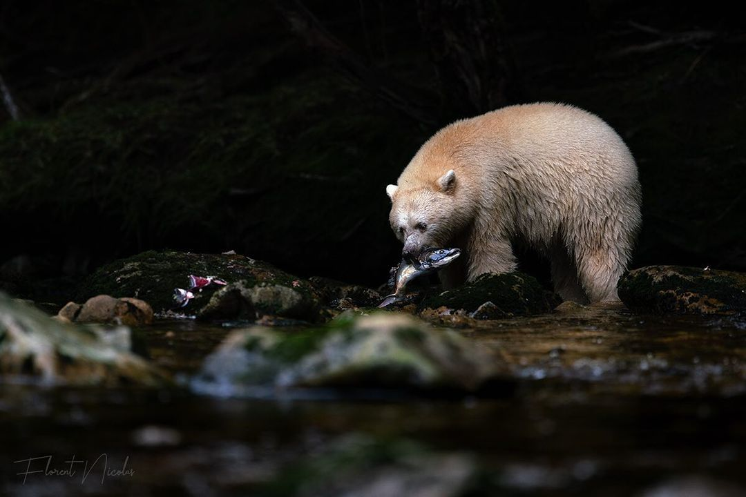 Black background, spirit bear shines bright with gleaming fish in mouth among rocks and water