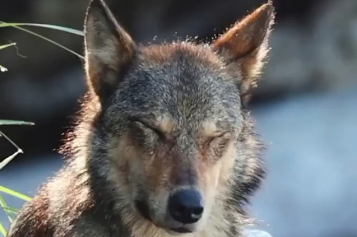 Close up of a beautiful light brown wolf's face, bathed in sunlight.