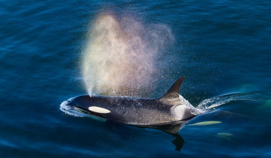 A rainbow is created by the exhalation of a killer whale breaking through the water.
