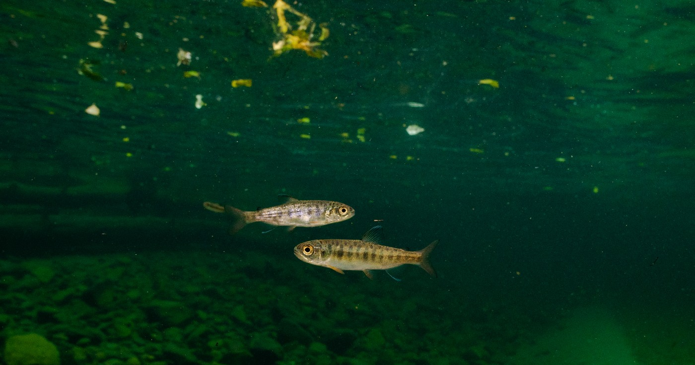 Two small fish in dark green water.